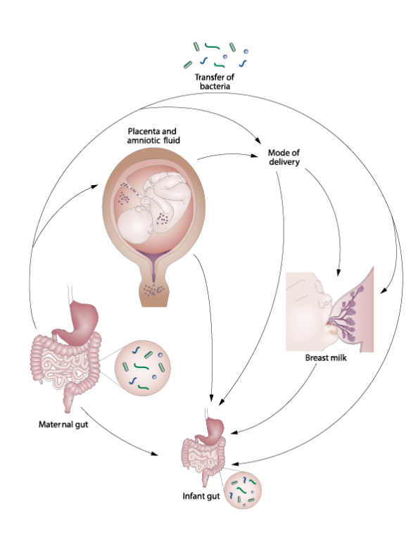 échange microbiote mère-enfant